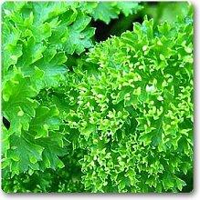 SAFLAX 600 Samen BIO Glatte Petersilie Petroselinum crispum