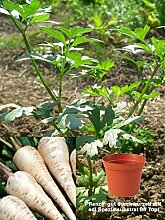 Petersilienwurzel Pflanze im 12cm Topf