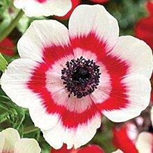 Pets Delite® 10 Anemone de Caen Bi-Color, Rot und