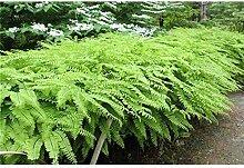 Pfauenradfarn Adiantum pedatum Farn Pflanze Staude winterhart im Topf gewachsen