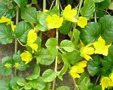 Pfennigkraut (Lysimachia nummularia) Teichpflanze Teichpflanzen Teich