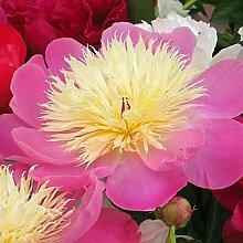 Pfingstrose Charming Lady - 1 pflanze