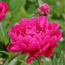 Pfingstrose Karl Rosenfield - Rose stark duftend