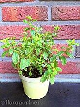 Pfirsich Salbei Pflanze, Salvia greggii variegata Kräuter Pflanze 3stk.