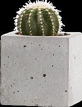 Pflanze Pentura-Kaktus