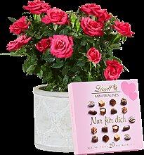 Pflanze Pinke Rose mit Lindt Mini Pralinés Nur