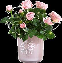 Pflanze Rose Petty Sue