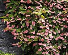 Pflanze Zier-Kiwi
