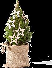 Pflanze Zuckerhutfichte mit Holzsternen im Jutesack