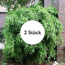 Pflanzen Kölle Bambus, Gartenbambus,