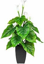 Pflanzen Kölle Calla, weiß, ca. 66 cm, im