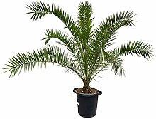 Pflanzen Kölle Dattelpalme, Höhe ca. 160 cm,