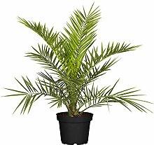 Pflanzen Kölle Dattelpalme, Phoenix canariensis,