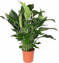 Pflanzen Kölle Einblatt, Spathiphyllum 'Sweet