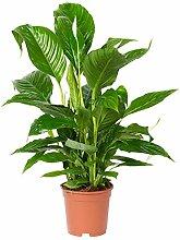 Pflanzen Kölle Einblatt, Spathiphyllum