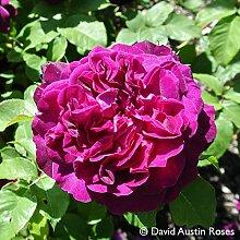 Pflanzen Kölle Englische Rose 'Munstead