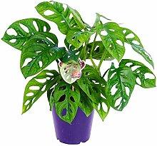 Pflanzen Kölle Fensterblatt, Monstera obliqua