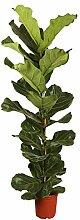 Pflanzen Kölle Geigenfeige (Ficus Lyrata)