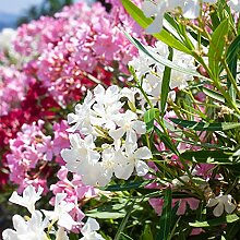 Pflanzen Kölle Oleander, Nerium Oleander Busch,