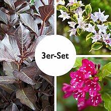 Pflanzen Kölle Weigelia, Strauch, Heckenpflanze,