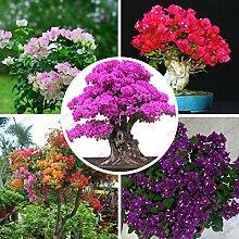 Pflanzen Sementes De Flores Bougainvillea