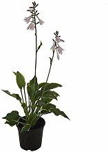 Pflanzenservice grüngelbe Funkie - Hosta fortunei aureomarginata, 17 cm Topf, 1 Pflanze Stauden, grün, 40 x 20 x 20 cm