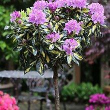 Pflanzenservice Rhododendron-Stamm lila-rosa blühend, 1 Pflanze, ca. 20 cm Krone, 60 cm Stammlänge, gesamt ca. 80 cm hoch , 4 Liter Container
