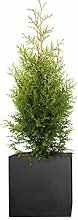 PFLANZWERK® Pflanzkübel Pflanzen - Lebensbaum
