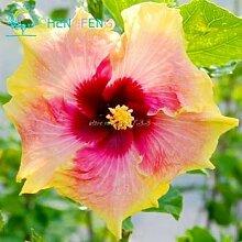 Pflaume: 100 Riesen Hibiskus Blumensamen indoor