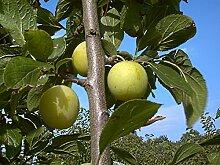 Pflaume Busch-Baum Große Grüne Reneklode süß 120-150 cm gelb-grün-rotes Gartenpflanze Obst 1 Pflanze