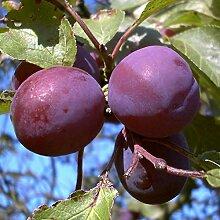 Pflaumenbaum, Graf Althans, Prunus domestica,