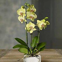 Phalaenopsis Orchidee gelb - 1 pflanze