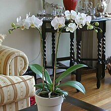 Phalaenopsis Orchidee weiß - 1 pflanze