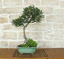 Phillyrea bonsai tree (12)