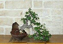 Phillyrea bonsai tree (13)