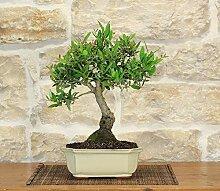 Phillyrea bonsai tree (15)