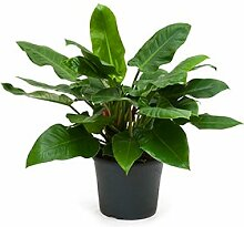 Philodendron imperial green, Baumfreund, ca. 75 cm, Kletterpflanze, 35 cm Topf