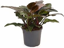 Philodendron imperial red, Baumfreund, ca. 75 cm, Kletterpflanze, 35 cm Topf
