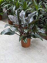 Philodendron imperial red, Baumfreund, ca. 80 cm, Kletterpflanze, 27 cm Topf