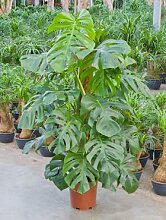 Philodendron pertusem monstera, Baumfreund, ca. 105 cm, Kletterpflanze, 24 cm Topf