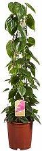 Philodendron | Pflanze grün | Zimmerpflanze |
