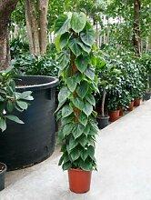 Philodendron scandens, Baumfreund, ca. 120 cm, Kletterpflanze, 24 cm Topf