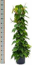 Philodendron scandens, Baumfreund, ca. 120 cm, Kletterpflanze, 26 cm Topf
