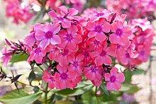 Phlox, Flammenblumen Windsor - Blumenzwiebel /