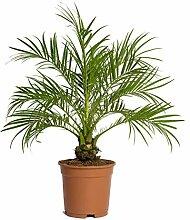Phoenix roebelenii Palme, Zwergdattelpalme -