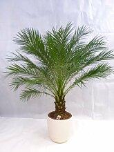 Phoenix Roebelenii Zwerg-Dattelpalme 150 - 170 cm