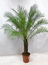 Phoenix roebelenii Zwerg-Dattelpalme 160 cm / 50