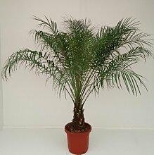 Phoenix Roebelenii Zwerg-Dattelpalme 90-100 cm /