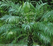Phoenix Roebelinii Pygmy oder Baby-Dattelpalme