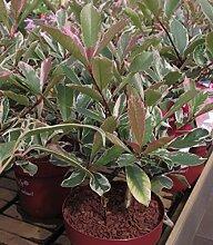 Photinia fraseri Pink Marble - Weißgrüne